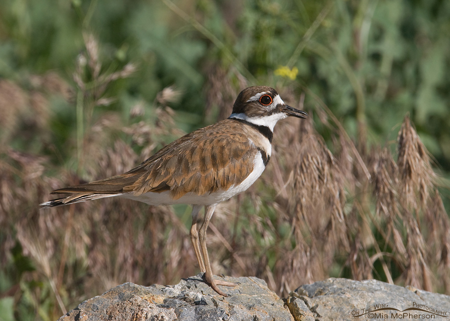 Adult Killdeer calling