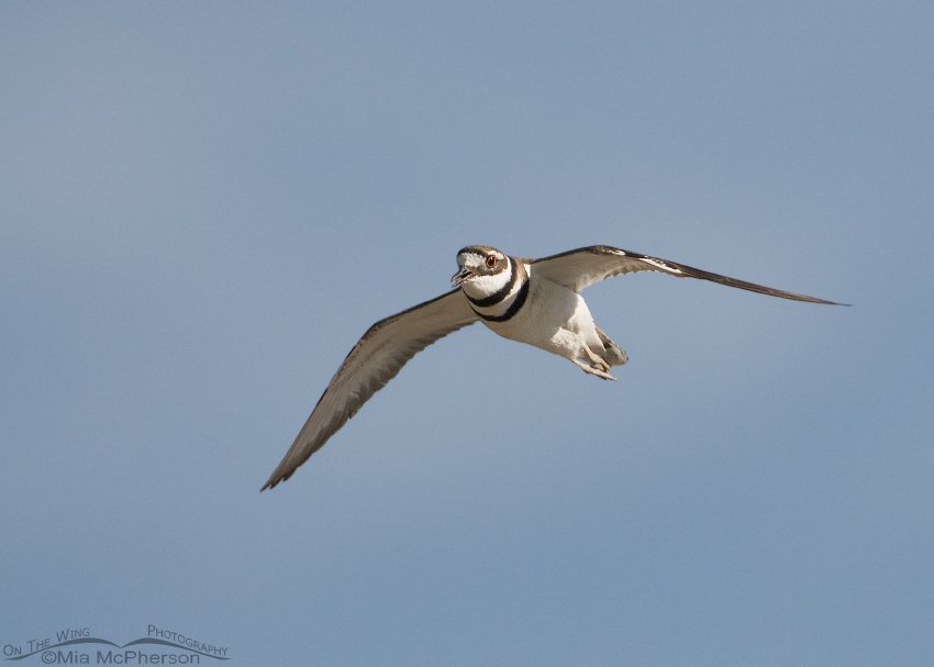 Adult Killdeer in flight