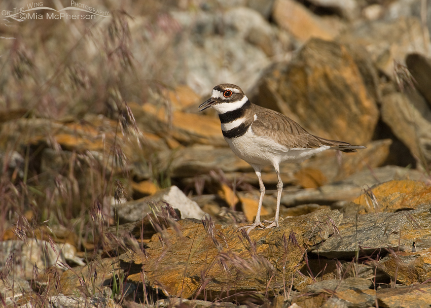 Killdeer near nesting site