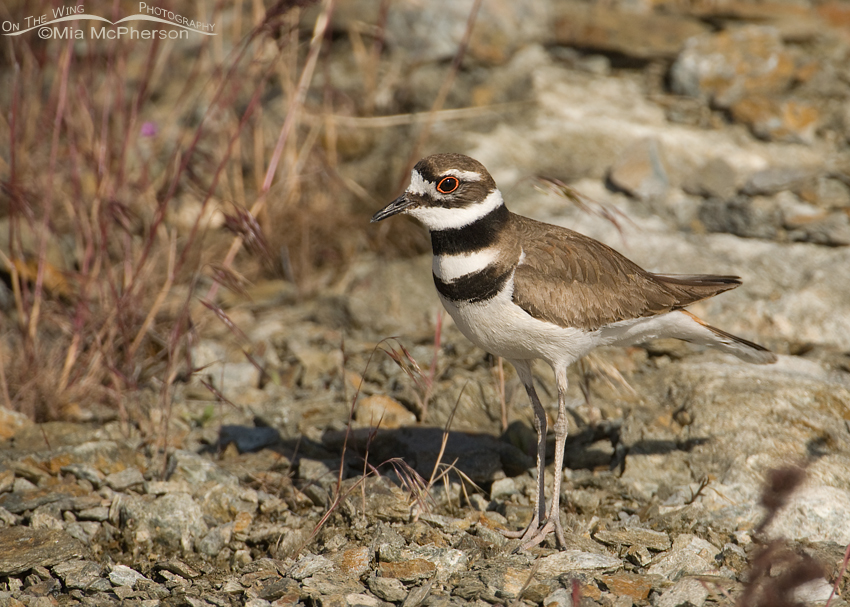 Adult Killdeer near nest