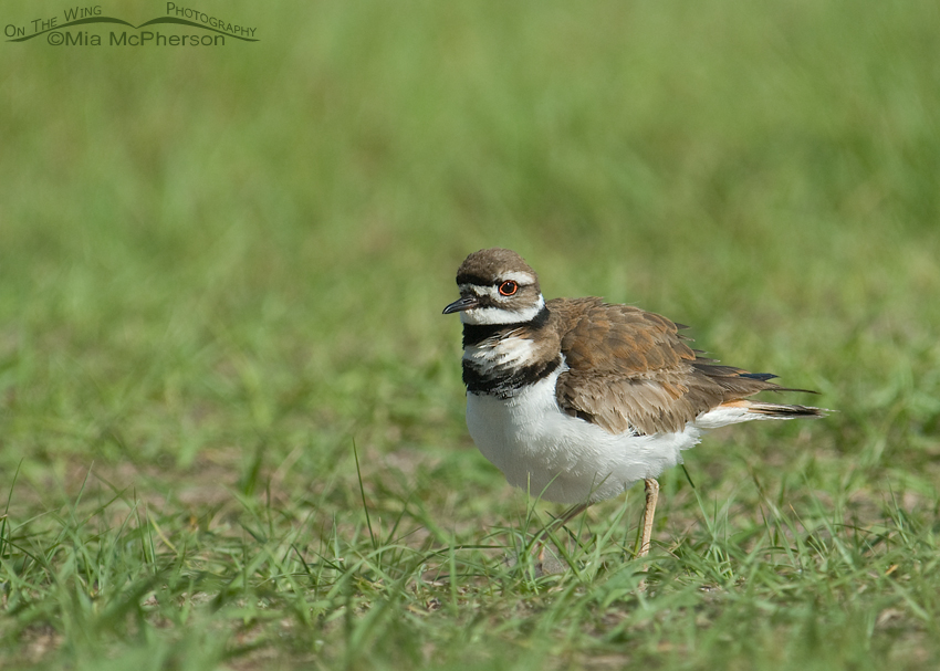 Killdeer in grasses