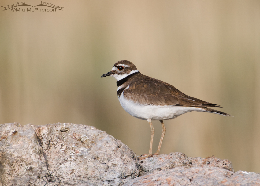 Killdeer on a rock near Garr Ranch