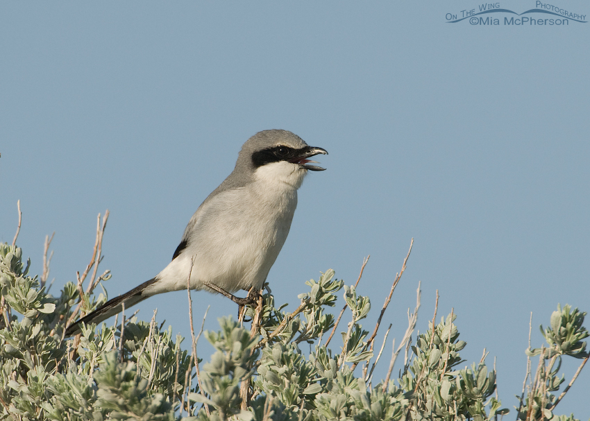 Loggerhead Shrike with its tongue exposed