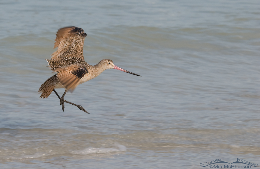 Landing Marbled Godwit pano