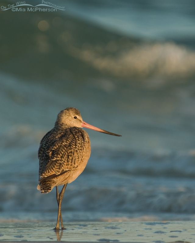 Marbled Godwit - Serenity ~ Simplified