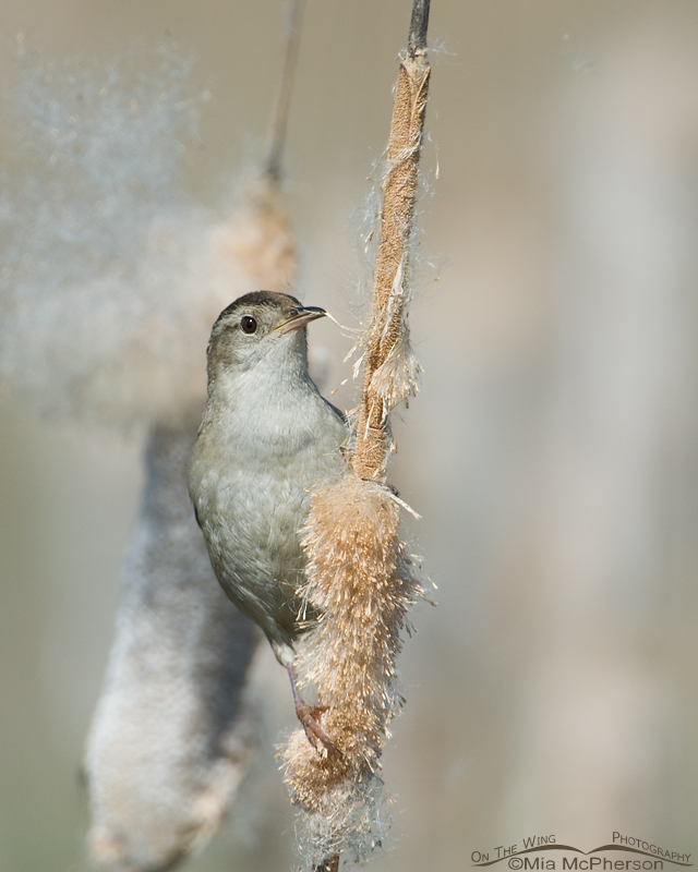 Marsh Wren male perched on a Cattail