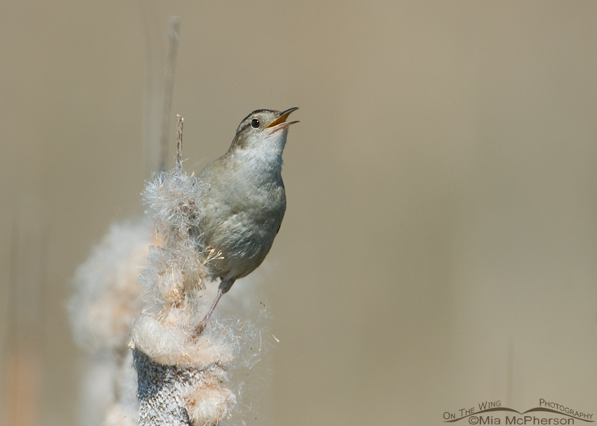 Marsh Wren in Cattail fluff