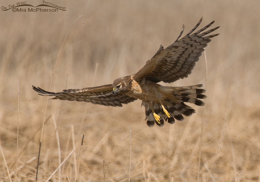 Female Northern Harrier slowing down above the nest