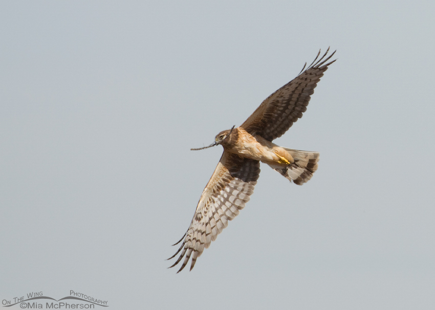 Female Northern Harrier in flight with nesting material
