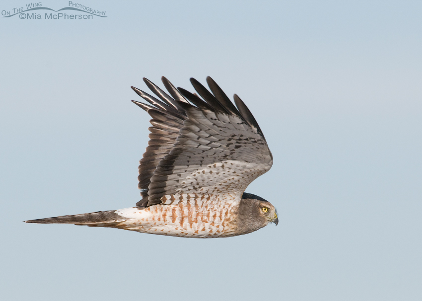 Northern Harrier male in flight