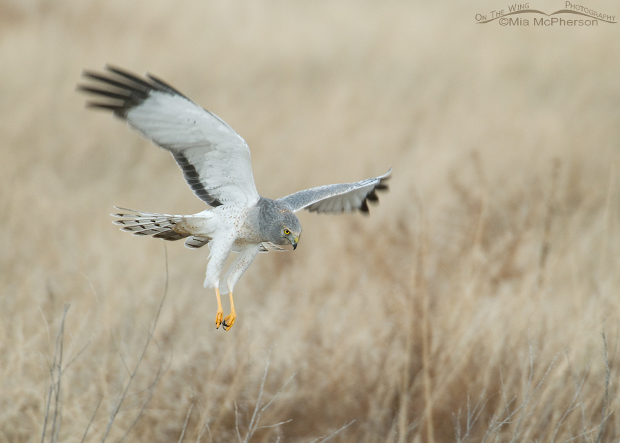 "The ""Gray Ghost"", male Northern Harrier in hovering flight"