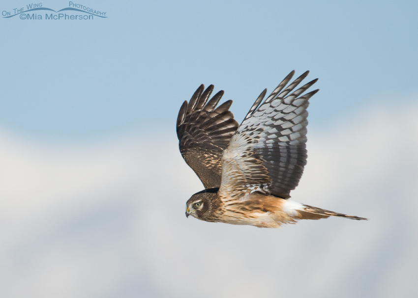 Northern Harrier in flight with snow covered Wasatch Mountains in the background