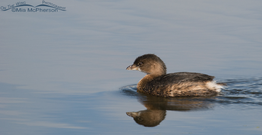 Pied-billed Grebe at Farmington Bay WMA