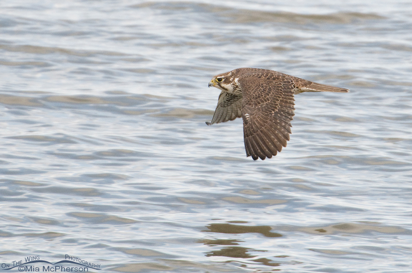 Prairie Falcon fly by after attacking the Northern Shoveler