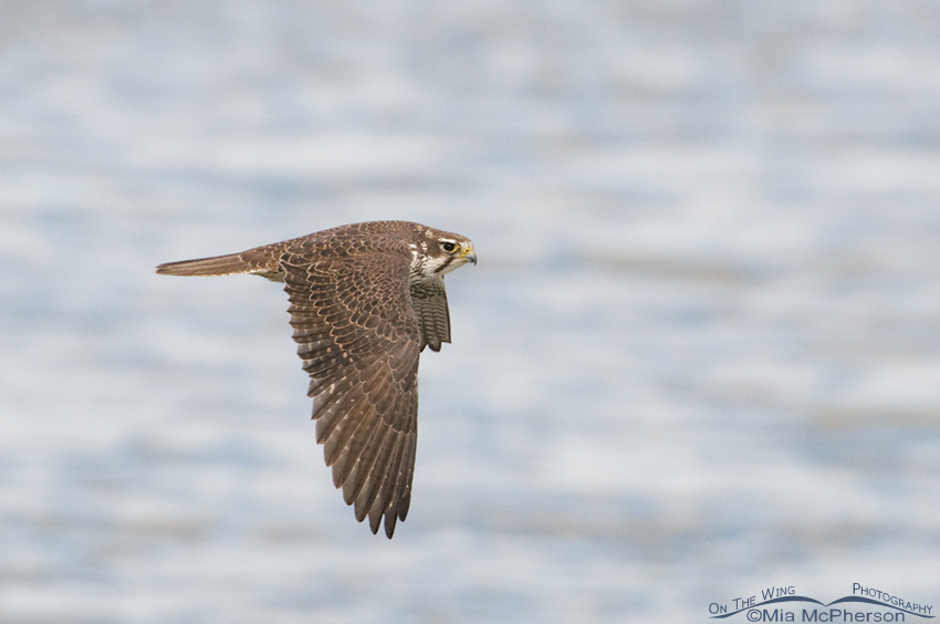 Another flyby - Prairie Falcon