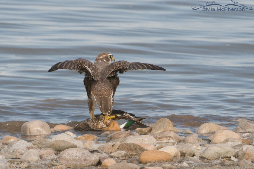 Prairie Falcon with Northern Shoveler at the edge of the Great Salt Lake