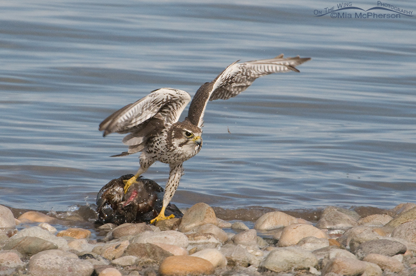 Prairie Falcon moving the Northern Shoveler from the water 1