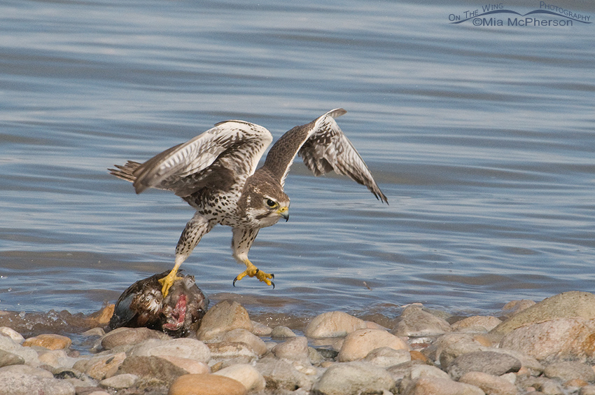 Prairie Falcon moving the Northern Shoveler from the water 2