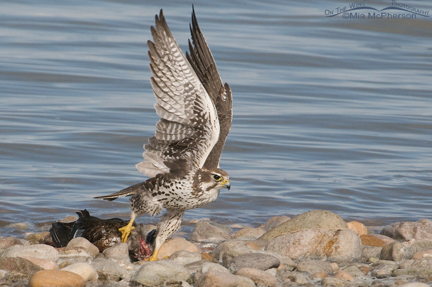 Prairie Falcon moving the Northern Shoveler from the water 4
