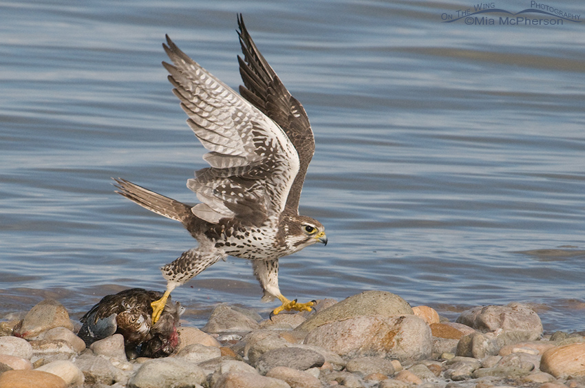 Prairie Falcon moving the Northern Shoveler from the water 5