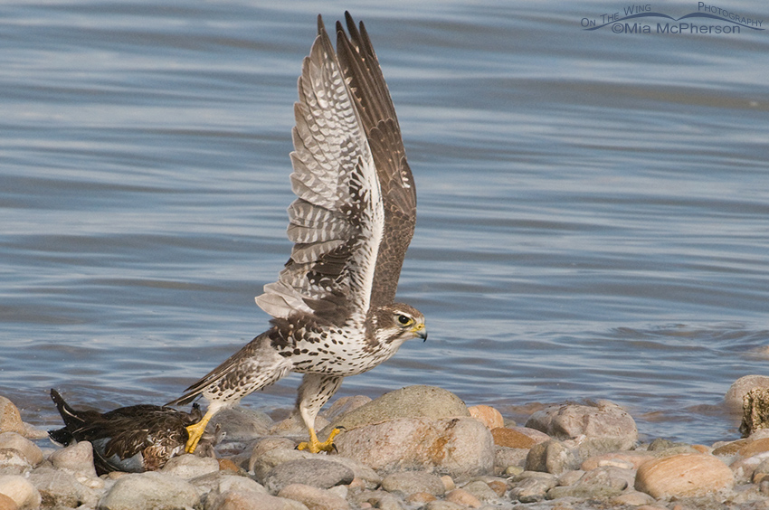 Prairie Falcon moving the Northern Shoveler from the water 6