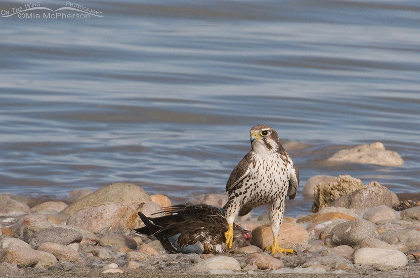 Prairie Falcon with Northern Shoveler on the shore
