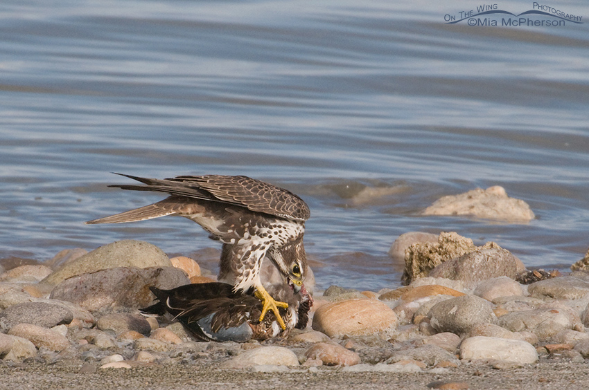 Prairie Falcon devouring the Northern Shoveler