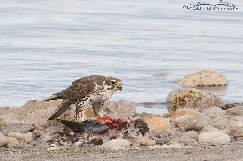 Prairie Falcon with a pile of feathers from the Northern Shoveler