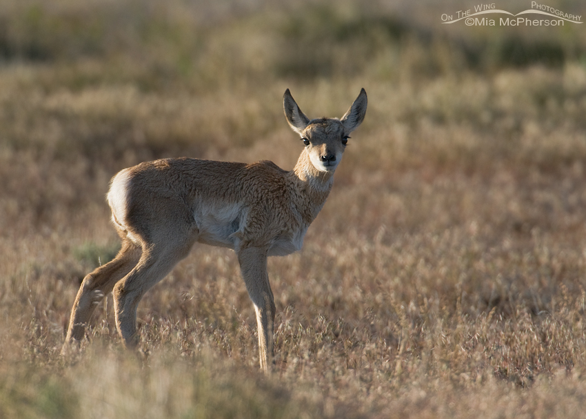 Pronghorn fawn in the West Desert
