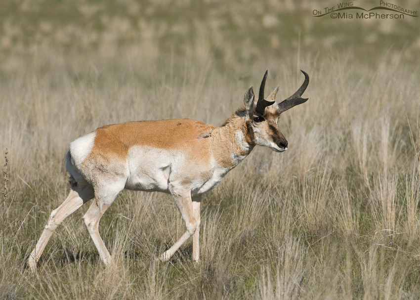 Normal Pronghorn buck