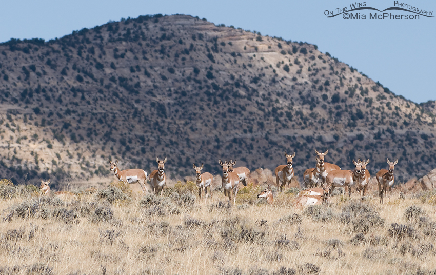 A herd of Pronghorn on a ridge at Antelope Flat