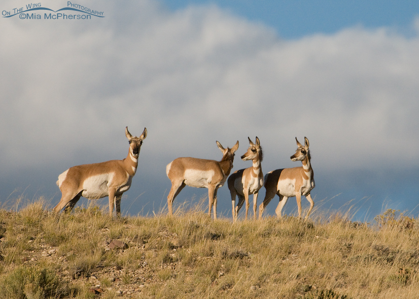 Evening Pronghorns
