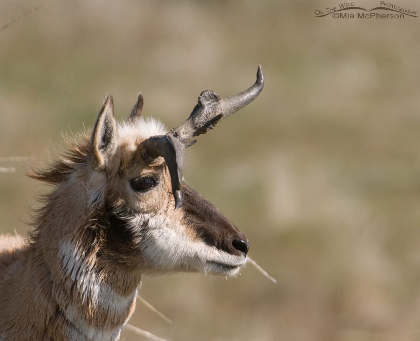 Misshapen Horns - Pronghorn
