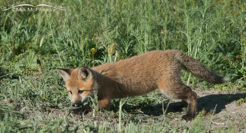 Red Fox kit practicing stalking skills