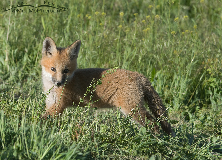 Red Fox kit nibbling a weed