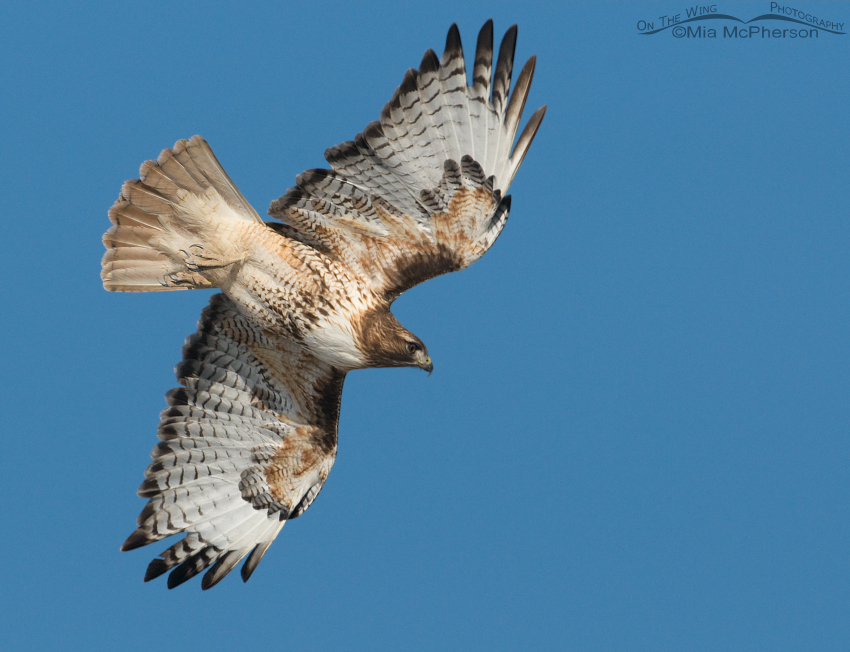 Red-tailed Hawk with its eye on prey