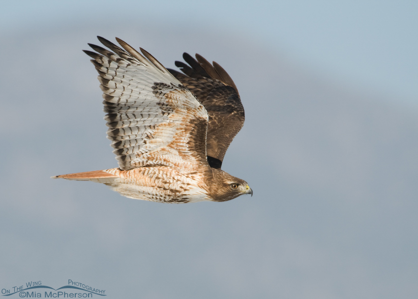 Red-tailed Hawk in flight near the Oquirrh Mountains