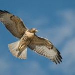 red-tailed-hawk-juvenile-mia-mcpherson-0679