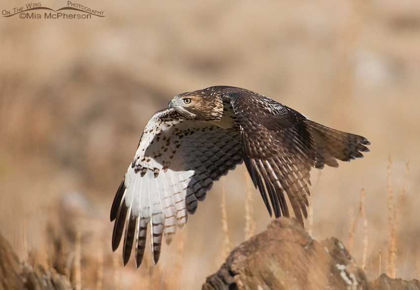 Red-taled Hawk juvenile flying by