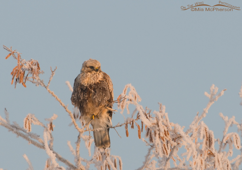 Rough-legged Hawk on a hoar frost covered tree