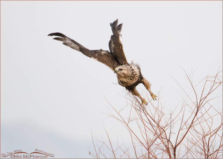 High key Rough-legged Hawk lift off