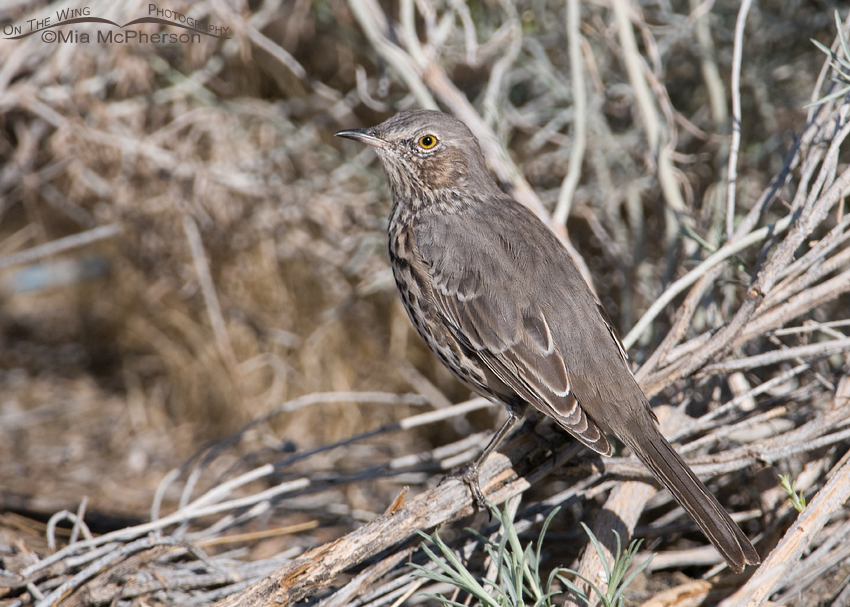 Sage Thrasher nearly hidden in the brush