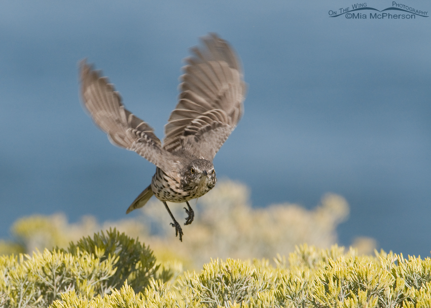 Sage Thrasher in flight