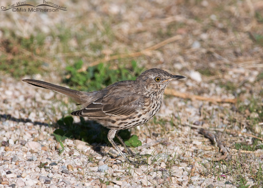 Sage Thrasher on the ground