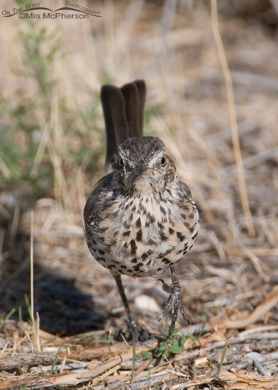 Sage Thrasher, way too close