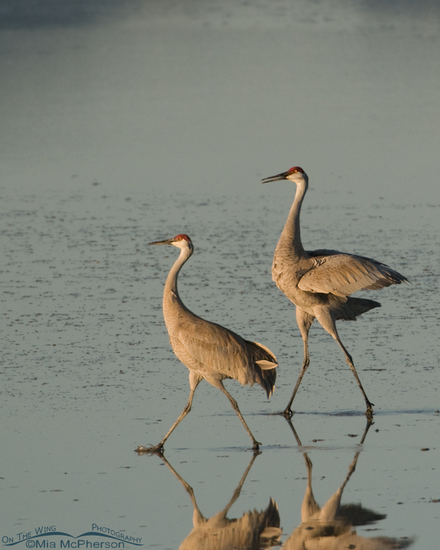 Sandhill Cranes courting on the shore of the Great Salt Lake