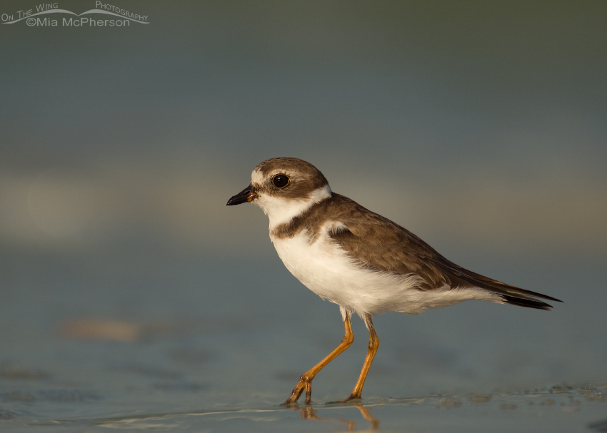 Semipalmated Plover in early morning light