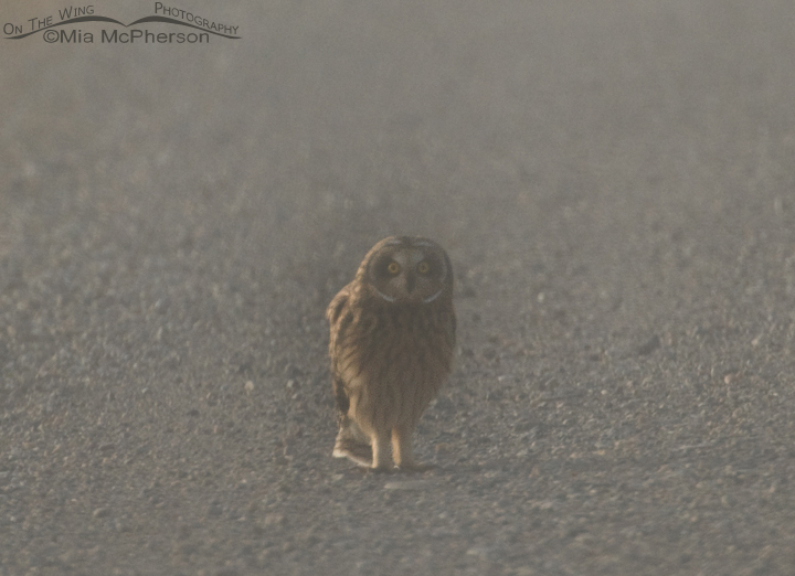 Short-eared Owl female in a fog