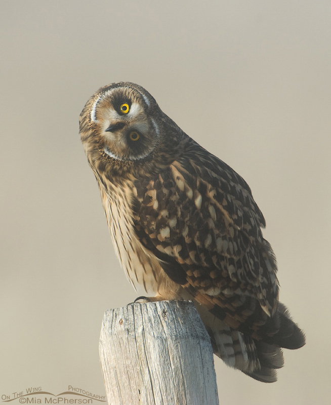 Female Short-eared Owl parallaxing