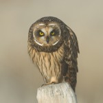 Female Short-eared Owl staring